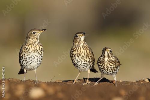 Obraz na plátně Song thrush - winter migration