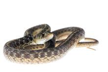 Female Garter Snake On White B...