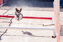 Small Dog Running In Obstacle Course, Leaping Over Bars On A Dirt Track With Ears Flopping In The Wind.
