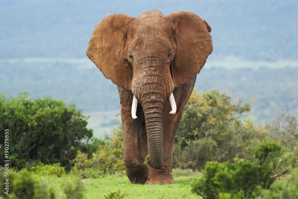 Fototapeta African Elephant, Loxodonta africana, South Africa