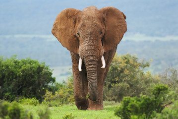 Afrički slon, Loxodonta africana, Južna Afrika