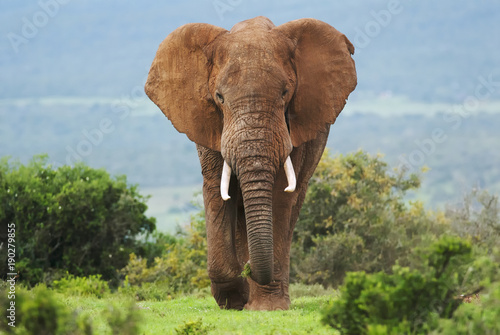 African Elephant, Loxodonta africana, South Africa Canvas Print