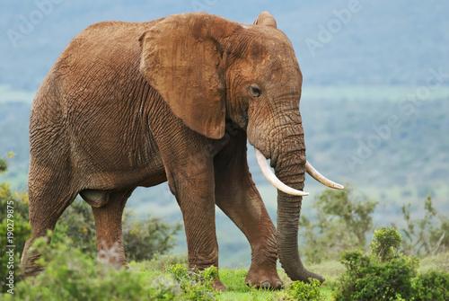 Foto op Aluminium Olifant African Elephant, Loxodonta africana, South Africa