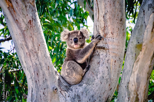 Recess Fitting Koala Koala In A Tree