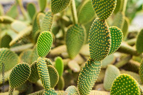 Papiers peints Cactus Green cactus in botanical park