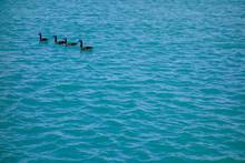 Four Canadian Geese Swim Calml...