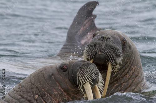 Naklejka premium walruses in a water in Svalbard