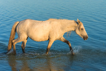 White Horse And Foal Walking In A Lake, With The Reflection In The Water