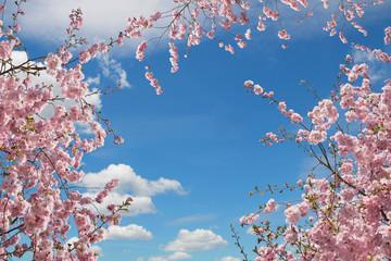 Panel Szklany Podświetlane Natura rosa blühende Kirschbäume, Blick von unten in den Himmel