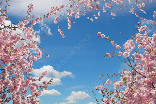 rosa blühende Kirschbäume, Blick von unten in den Himmel