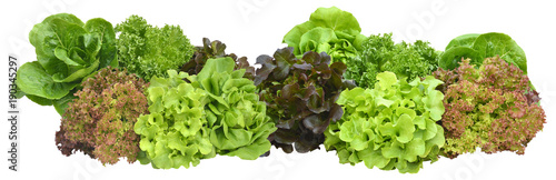 salad plant on white background