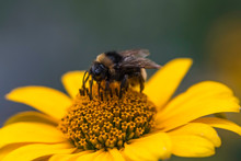 Bumblebee On False Sunflower