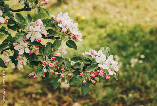 Blooming Apple Tree With Large White Flowers Beautiful Natural
