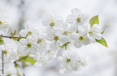 Cherry tree blossom close-up. White cherry flower on natural white background