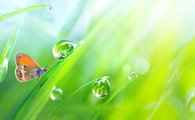 FototapetaBeautiful large drops fresh morning dew macro in nature. Drops transparent water on grass and butterfly outdoors. Spring summer background with copy space.