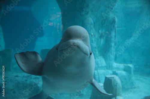 Fototapeta premium beluga sonriendo en el fondo marino