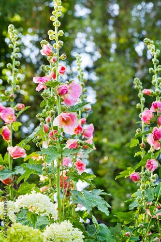 Cadres-photo bureau Jardin Stockrosen und Schneeball im Garten