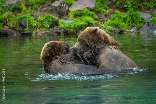 Fényképezés  two subadult grizzly bears fighting in the water, Lake Clark National Park, Alas