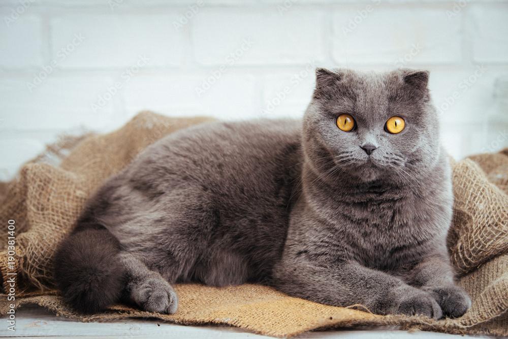 Fototapety, obrazy: lovely blue scottish fold cat with golden eyes on burlap background.
