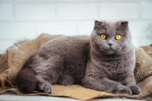 Lovely Blue Scottish Fold Cat ...