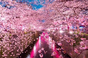 Fototapeta Cherry Blossoms along the Meguro River, Tokyo Japan
