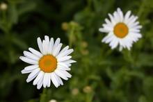White Shasta Daisy Flowers