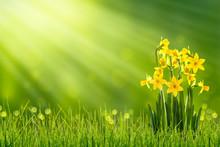 Osterglocken Auf Der Frühlingswiese