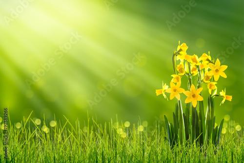 Foto op Canvas Narcis osterglocken auf der frühlingswiese
