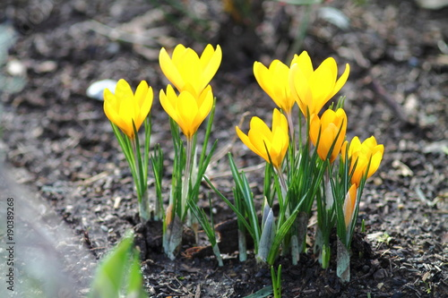First spring flowers in Germany. Bunch of fragile bright yellow crocuses in garden flower bed.