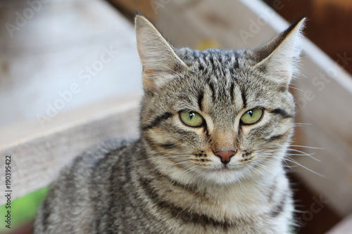 Fotomural Gray street cat against the background of wooden construction