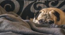 Dog Breed Pug Sleeping Peacefu...