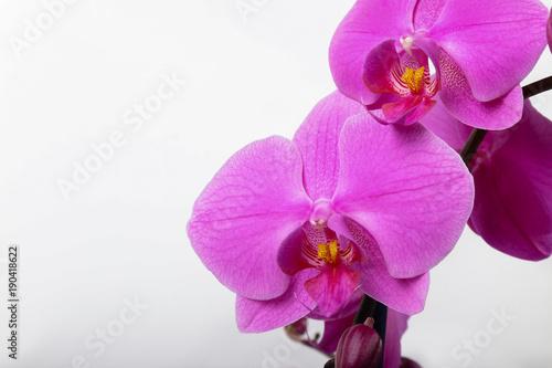 purpurowy-storczykowy-phalaenopsis-odizolowywajacy-na-bialym