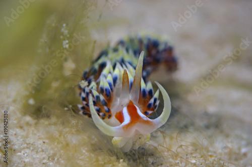 Fadenschnecke, Aeolid Nudibranch (Phidiana militaris)