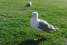 A Seagull In Front Focused And...