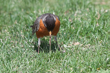 Robin Pulls Earthworm From Ground