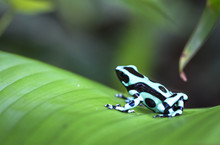 A Green And Black Poison Dart Frog (Dendrobates Auratus) Sits On A Banana Leaf In Costa Rica.