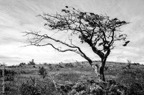 Fotografija  Tree, deformed by wind, Patagonia near Punta Arenas, Chile, monochrome, black an