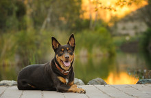 Australian Kelpie Lying Down B...