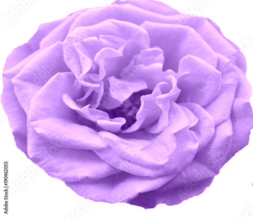 Gentle Purple Rose Close Up Isolated On A White Background