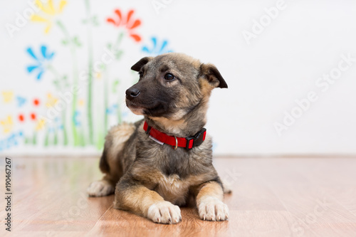 Foto A little mongrel puppy in a red collar lies on the floor