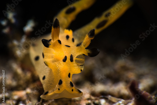 Thecacera Nudibranch фототапет
