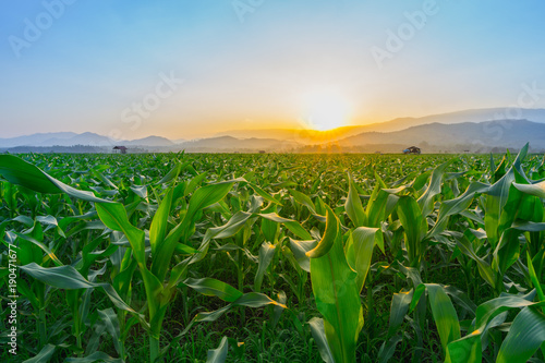 In de dag Groene young green corn field in agricultural garden and light shines sunset