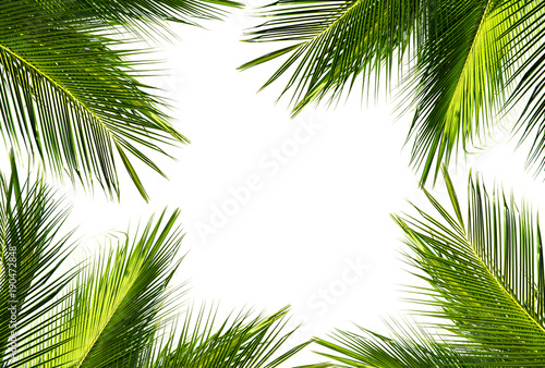 natural frame of green coconut palm leaf on white background and ...