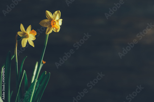 Deurstickers Narcis Beautiful Yellow Daffodils on Wooden Background