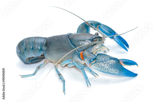 Blue crayfish cherax destructor,Yabbie Crayfish isolate