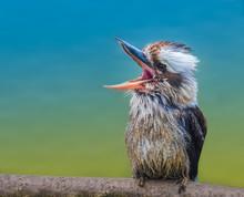 Laughing Kookaburra (Jackass),...