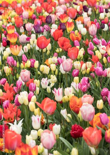 Foto op Plexiglas Tulp colorful tulips flowers blooming in a garden