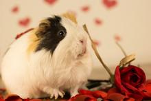 Guinea Pig On Valentine's Day