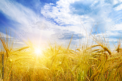 Fotobehang Cultuur Wheat field and sunrise in the blue sky.