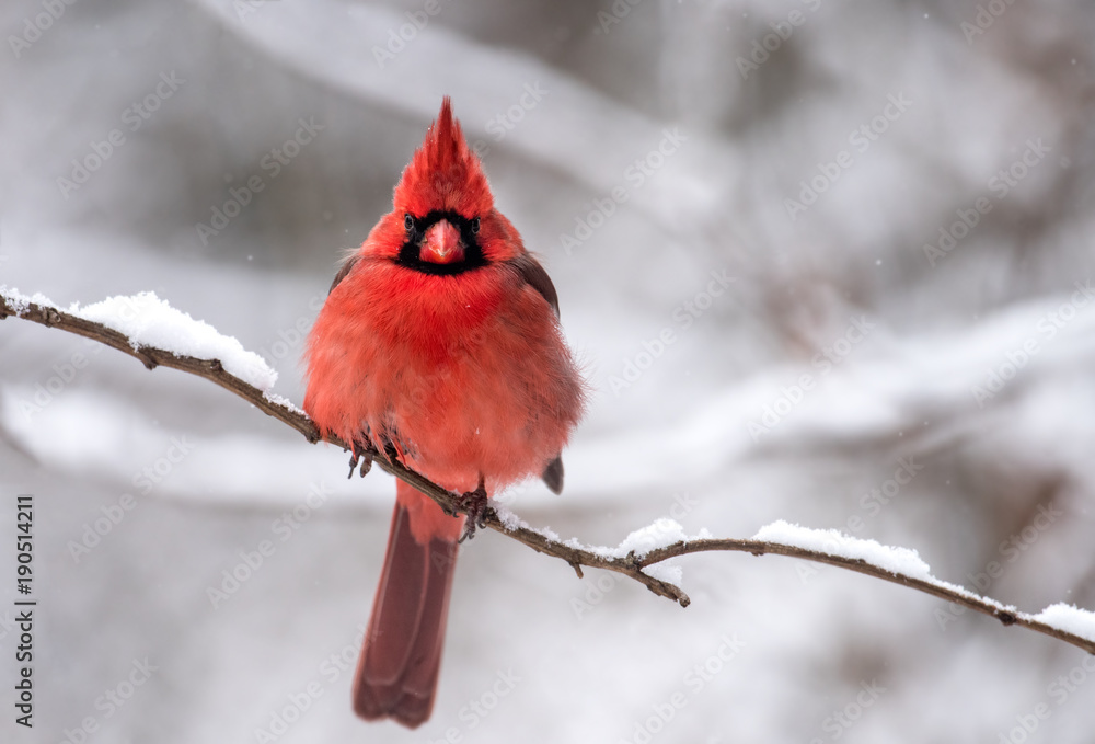 Photo  Northern Cardinal in Snow